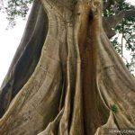 Pohon Beringin Berusia Lebih dari 500 tahun di Bali